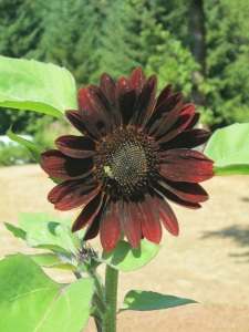 Blk Sunflower