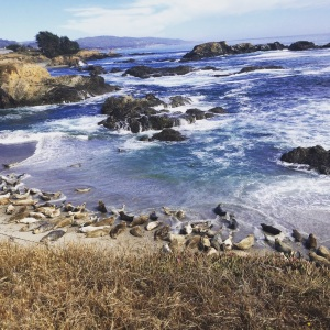 seal point